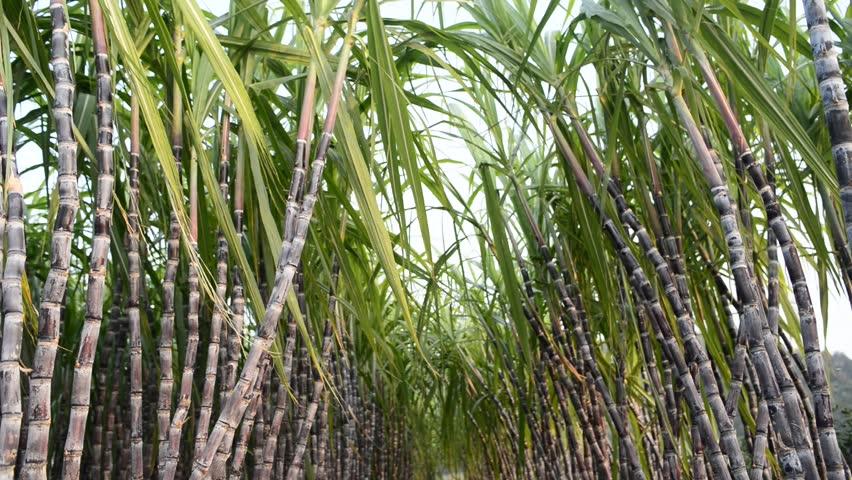 Sugarcain
